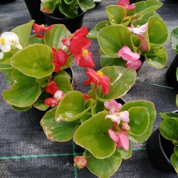 Bégonias Semperflorens Rose